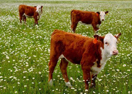Sobre pastoreo  Foto de archivo - 400917