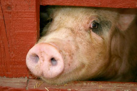 Pig at the fair