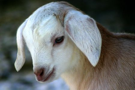 Nubian Goat Kid Stock Photo