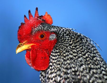 Barred Rock Rooster Stock Photo - 400877