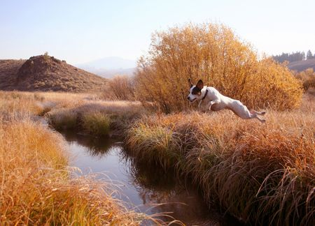airborn: Jack Russel Terrier creek jumping Stock Photo