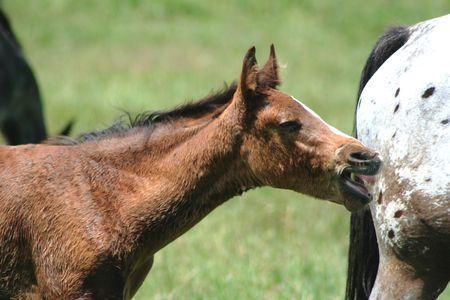 appaloosa: Appaloosa Colt, Horse Stock Photo