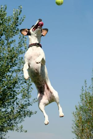 Jack Russel Terrier jumping for ball and treats