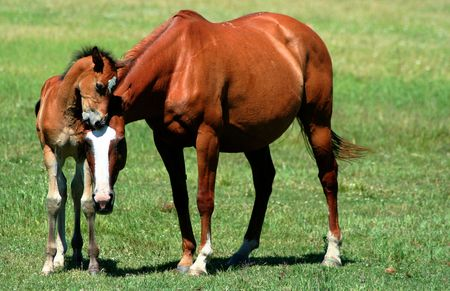colt: Appaloosa mare and colt