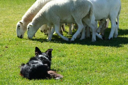 Border Collie working sheep in local exihibtion photo