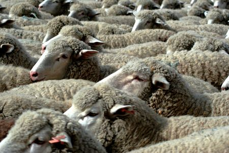 overpopulated: Large herd of sheep heading south for winter pasture