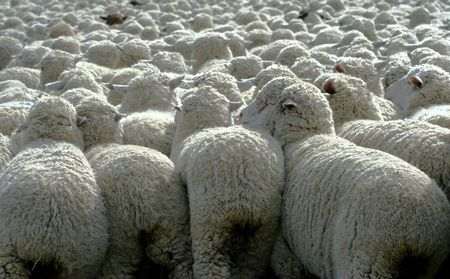 ranching: Large herd of sheep heading south for winter pasture