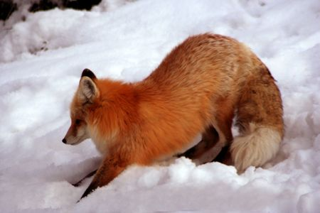 instinct: Red Fox laying in the sun on cold winter day Stock Photo