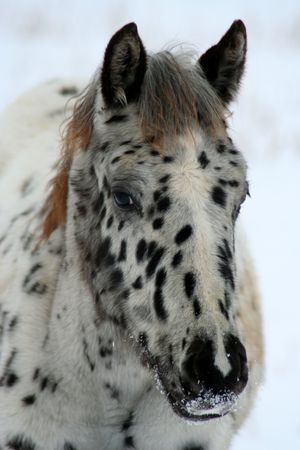 appaloosa: Appaloosa Colt In Winter Stock Photo