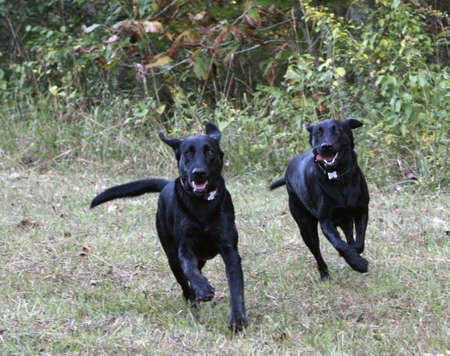 Black Labradors Running photo