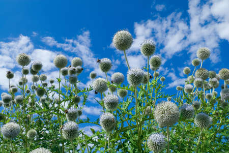 Thistle bush and bees under clear blue sky