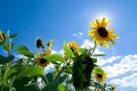 Sunflower over serene blue sky