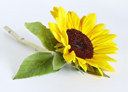 Sunflower one Stock Photo