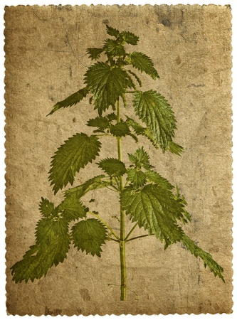 nettle: old card with a picture of nettle branches  Stock Photo