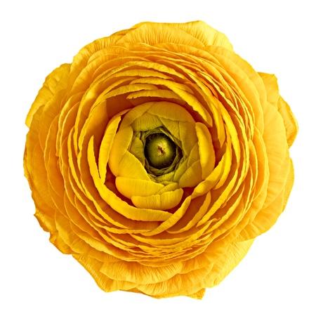 ranunculus yellow on white background