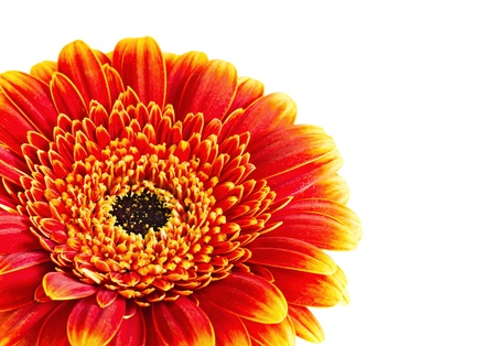 One Gerber flowers isolated on white