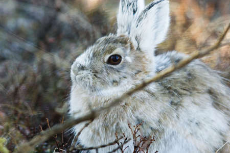 relative: Snowshoe hare, a close relative of the easter bunny, in natural environment Stock Photo