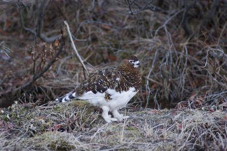 denali: female ptarmigan in spring dress - not winter and not summer yet. Denali national park, Alaska