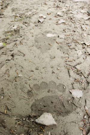 Do you know the feeling when you see a track of a bear on a trail you walk? Yeah! This is it... The whole bouquet of emitions... Fresh bear tracks in this image photo