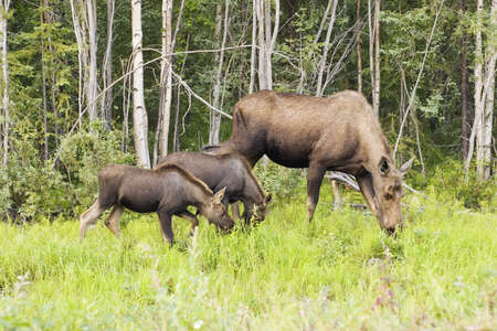 moose hunting: Summertime in ALaska provides excellent chance to see wildlife - this moose family just one of the groups of animals.