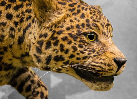 big cat: Big cat  Wild African Leopard Stock Photo