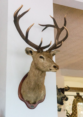 staghorn: Stags Head on a wall
