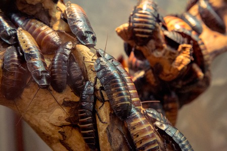 madagascar hissing cockroach: Madagascar hissing (Gromphadorhina portentosa) cockroach