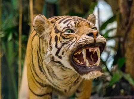 sumatran: Sumatran Tiger Roaring in a forest Stock Photo