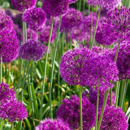 flores fucsia: Flores fucsia brillante con acentos de hierba verde