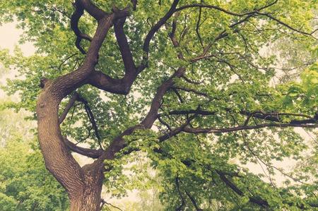 tronco: Un antiguo frondosos robles copas de los �rboles. Foto de archivo