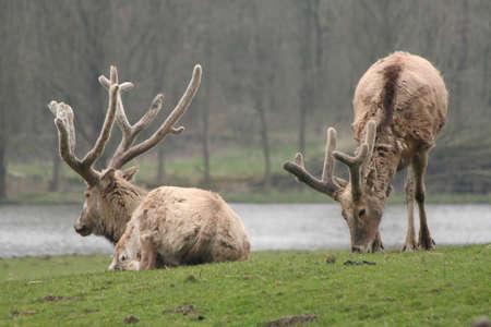 re: Two P�re Davids Deers