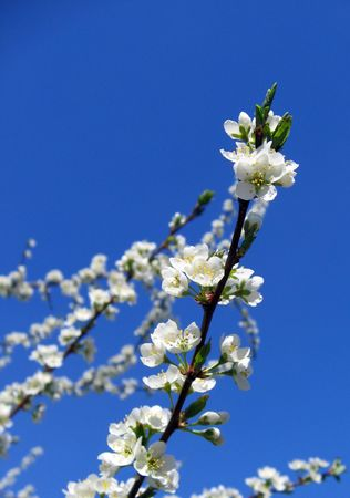 Abloom cherry in blue sky photo