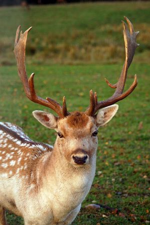 Close-up shot of the fallow deer in Latvia. photo