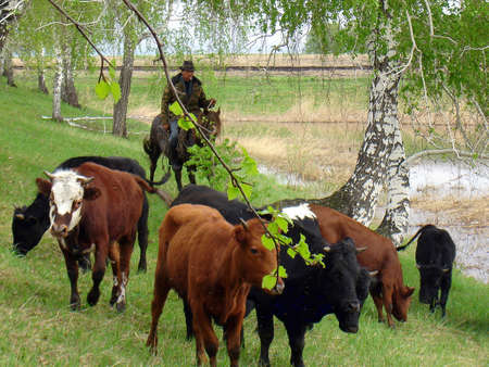 steers: shepherd, cowboy and green grass and forest pasture