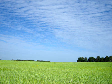 horison: wheat field and blue sky and horison