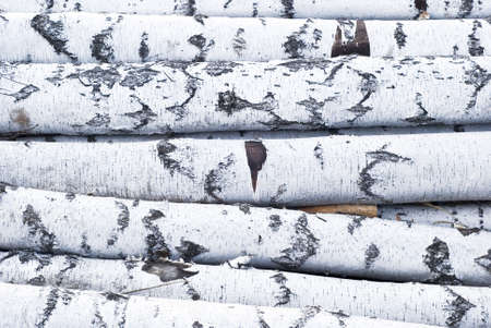 close up view of birch logs Stock Photo - 3019676