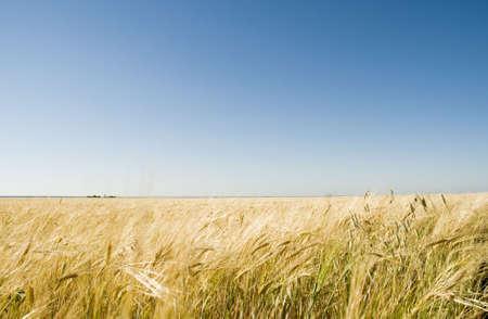 farme: wheat field and blue sky