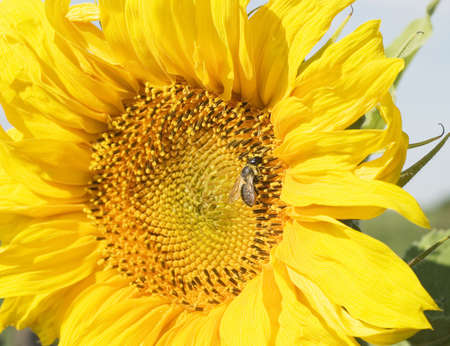 bee on a sunflower by summer photo
