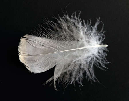 close up of white feather on a black photo