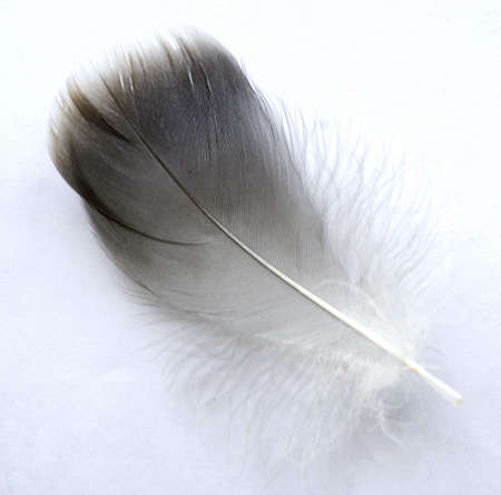 weightless: feather on white