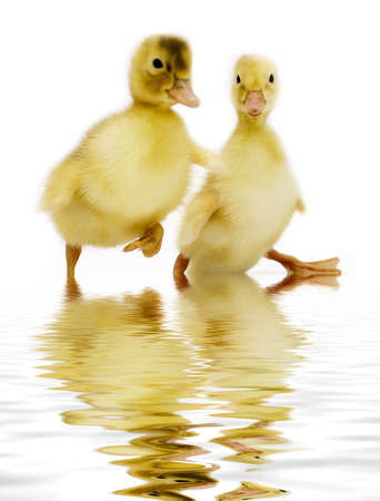 funny ducklings on white. Focus on right