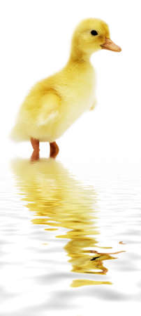 nice small duckling looking cute reflected in water photo