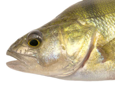 head of perch isolated on white Stock Photo - 5594123