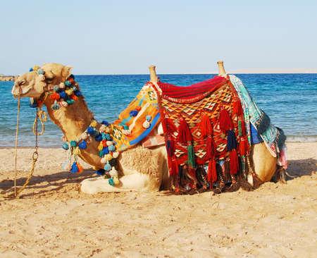 sitting camel over sea background photo