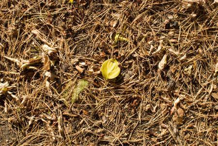 close up shot of pine needles photo