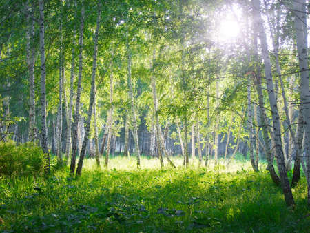 mystical forest: summer  beauty birch forest Stock Photo