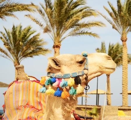 camel on the beach photo
