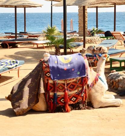 saddle camel: camel on the beach
