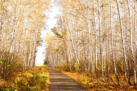 road in an autumn birch forest photo