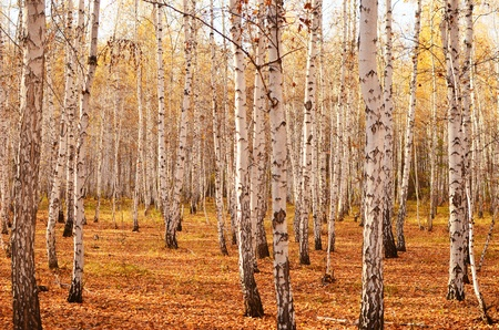 autumn birch forest Stock Photo